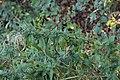 Puccinia pulverulenta on Epilobium sp. (30534336597).jpg