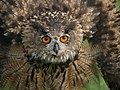 Puchacz eagle owl.jpg