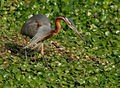 Purple Heron (Ardea purpurea) in Hodal W IMG 6264.jpg