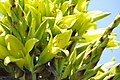 Puya chilensis Zapallar 06.jpg