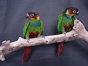 A green parrot with a maroon head and tail