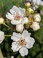 Pyrus pyrifolia (Raja) blossom7.jpg