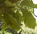Quercus aliena C.jpg