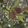 Quercus chrysolepis acorns Big Bear Lake.jpg