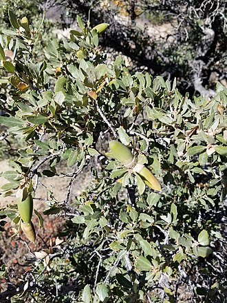 Quercus cornelius-mulleri - Quercus cornelius-mulleri acorns.