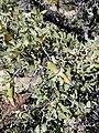 Quercus cornelius-mulleri acorns..jpg