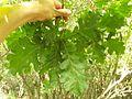 Quercus frainetto Capocotta.jpg