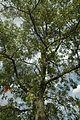 Quercus laevis (23845724240).jpg