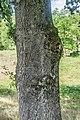 Quercus robur in Aveyron 05.jpg