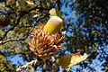 Quercus trojana6.jpg