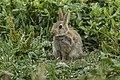 Rabbit - Farne Is - FJ0A3006 (36165832712).jpg