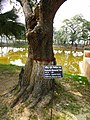 Rabindra memorial tree spenish cherry .jpg