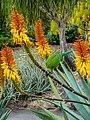 Rainbow lorikeet and Aloe sp Brisbane Botanic Gardens Mt Coot-tha P1030138.jpg