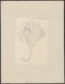 Raja clavata - 1700-1880 - Print - Iconographia Zoologica - Special Collections University of Amsterdam - UBA01 IZ14200049.tif