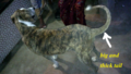 Ramanathapuram mandai dog identity with thick long tail.png