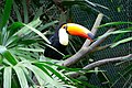 Ramphastos tocos -Taipei Zoo, Taiwan-8a.jpg
