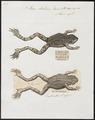 Rana halecina - 1700-1880 - Print - Iconographia Zoologica - Special Collections University of Amsterdam - UBA01 IZ11500053.tif