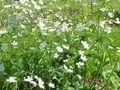 Ranunculus aconitifolius2.jpg