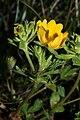 Ranunculus eschscholtzii 0311.JPG