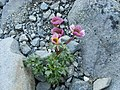 Ranunculus glacialis1.JPG