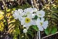 Ranunculus lyallii in Arthur's Pass NP 02.jpg