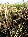 Ranunculus sardous subsp. sardous sl27.jpg