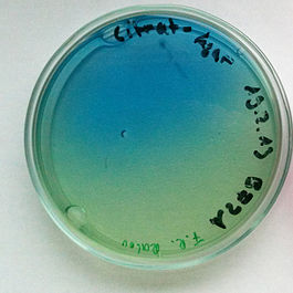 Raoultella planticola on Citrate agar.jpg