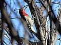 Red-breasted Sapsucker (Sphyrapicus ruber) (8571139570).jpg