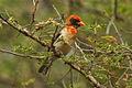 Red-headed Weaver - Meru - Kenya 06 8200 (22662471820).jpg