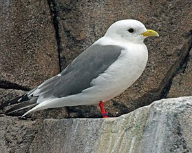 Red-legged Kittiwake RWD3.jpg