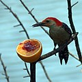 Red Bellied Woodpecker Eating an Orange with Jelly (5776778980).jpg