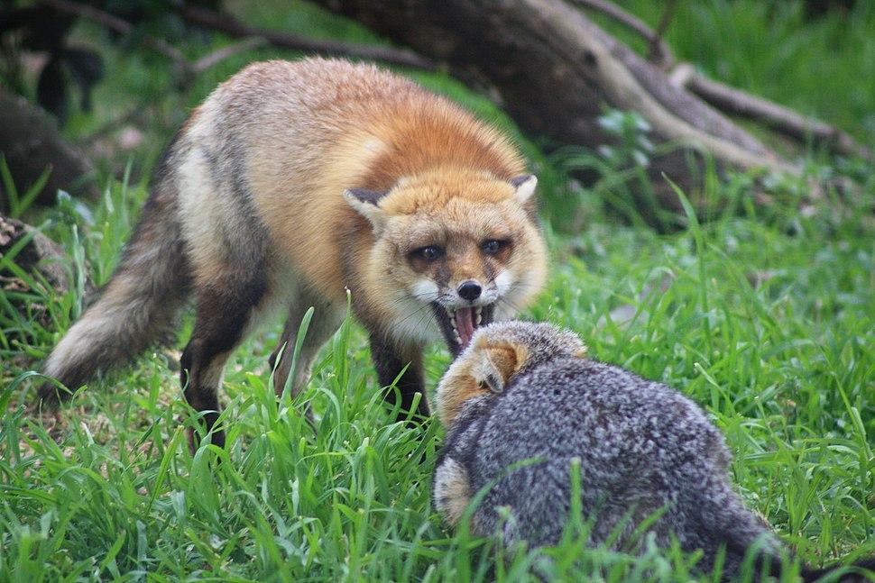 Red Fox vs Grey Fox - San Joaquin National Wildlife Refuge
