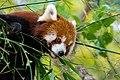 Red Panda (37661701315).jpg