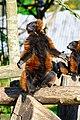 Red Ruffed Lemur (50349733713).jpg