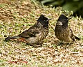Red Vented Bulbul (Juvenile Chatting) Click on Snap to Hear conversation (7117404779).jpg