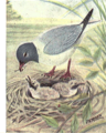 Reed-laughing-gull.png