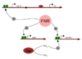 Regulation of Nar and arfM gene by FNR(activated).png