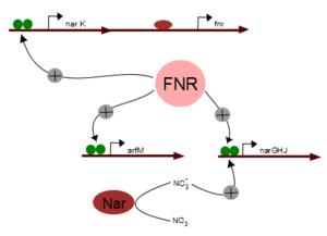 FNR regulon - Regulation of Nar and arfM gene by FNR(activated)