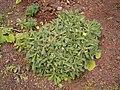 Reichardia ligulata (Puntallana) 01 ies.jpg
