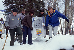 Reintroduced wolves being carried to acclimation pens, Yellowstone National Park, January, 1995.jpg