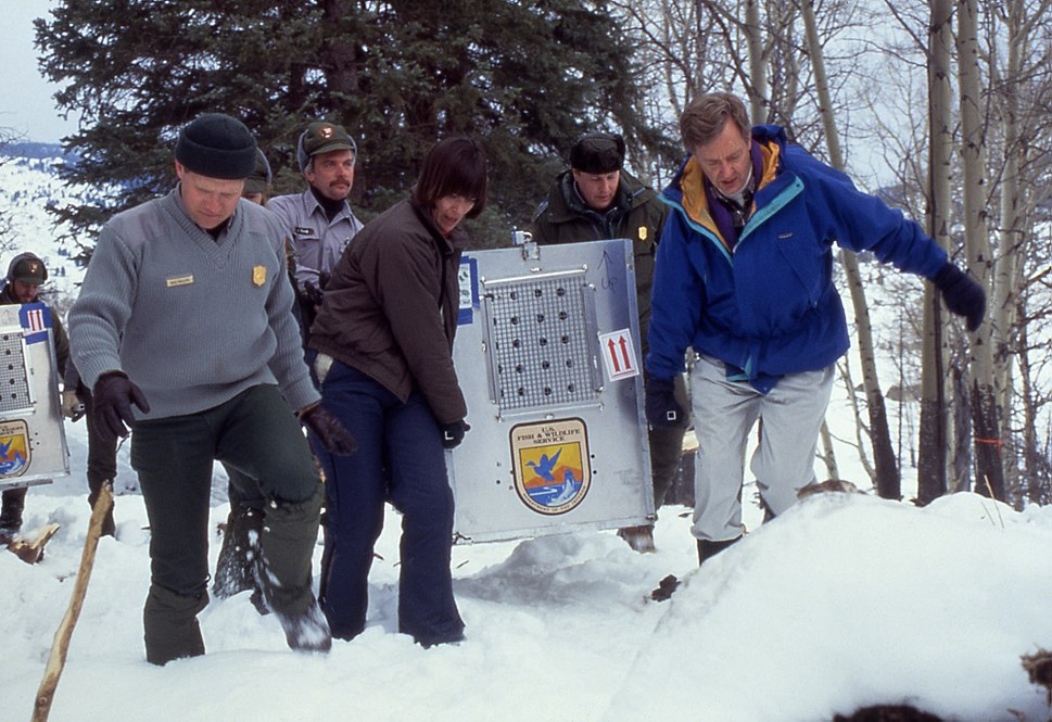 Reintroduced wolves being carried to acclimation pens, Yellowstone National Park, January, 1995