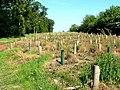 Replanting in Heads Plantation - geograph.org.uk - 183431.jpg