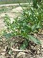 Reseda phyteuma sl74.jpg