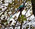 Resplendent Quetzal (Pharomachrus mocinno) - Flickr - gailhampshire (2).jpg