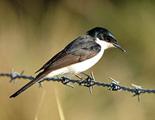 Restless Flycatcher Dayboro.JPG