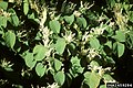Reynoutria japonica flower (11).jpg