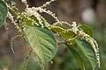 Reynoutria japonica flower (23).jpg