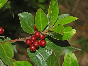 Rhamnus alaternus - Leaves and berries