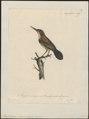 Rhamphocaenus melanurus - 1825-1834 - Print - Iconographia Zoologica - Special Collections University of Amsterdam - UBA01 IZ16400377.tif
