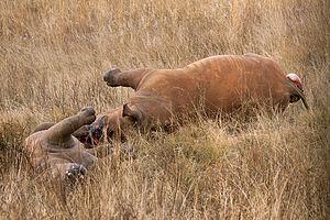 Defaunation - Rhino poaching
